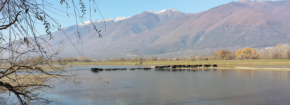 Buffaloes, Kerkini Lake